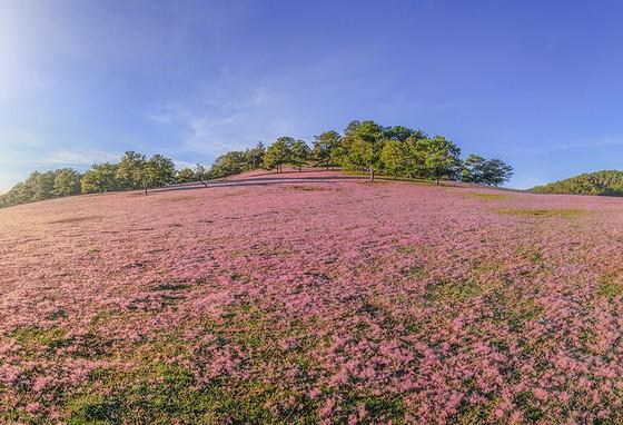 Mênh mông cỏ hồng Đà Lạt