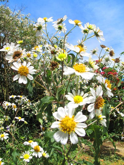 Hoa Dã quỳ trắng - loài hoa độc đáo ở Đà Lạt