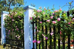 Màu hoa tường vy của mùa thu phố núi Đà Lạt