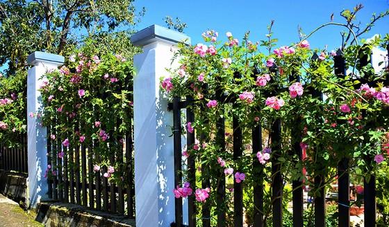 Hoa tường vy của mùa thu Đà Lạt
