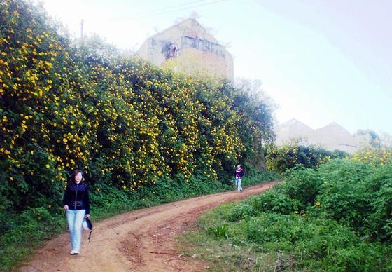 Hoa dã quỳ vàng bên ngoài Làng hoa Vạn Thành
