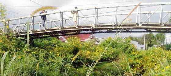 Chụp hình bên cầu hoa dã quỳ vàng gần thác Cam Ly