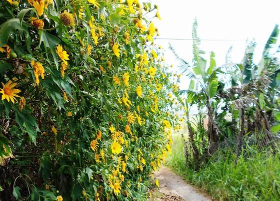 Hoa dã quỳ quỳ vàng ở vùng rất xa Đà Lạt