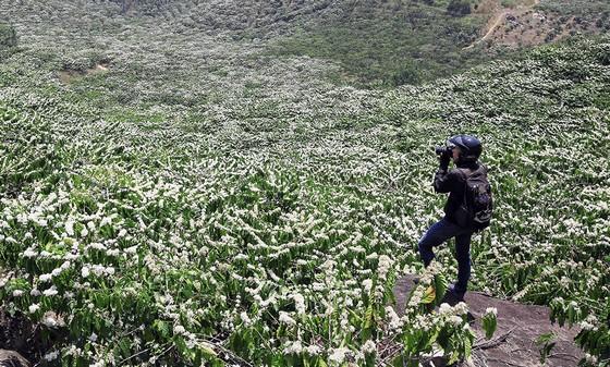 Mùa hoa cà phê về trên phố núi Đà Lạt và Tây Nguyên