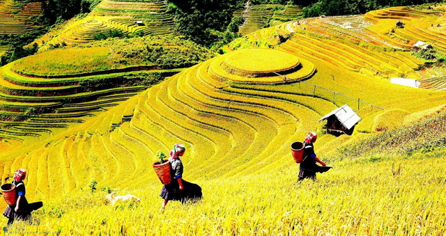 the rice terraces is ripe and harvesting