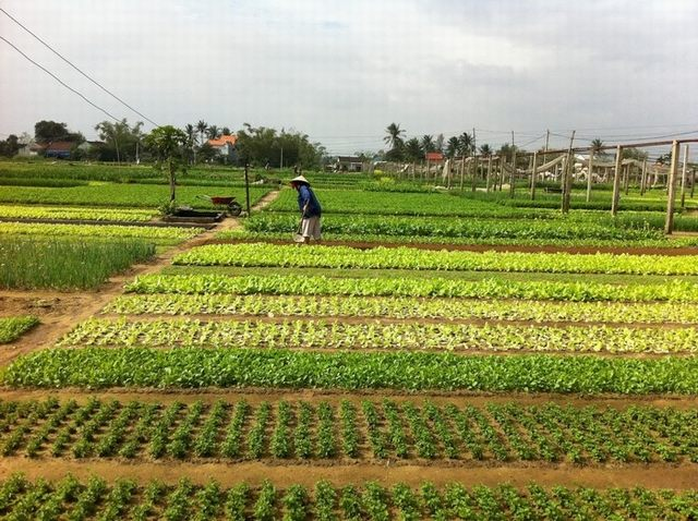 Green vegetable garden in Tra Que vegetable village - Hoi An