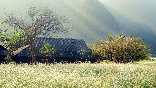 the village with triangular flowers in Ha Giang