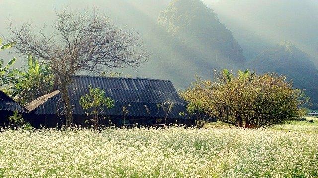 同村的河江三角花