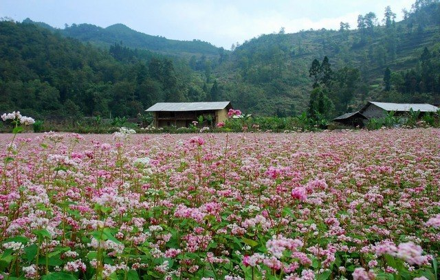triangular flowers - Ha Giang