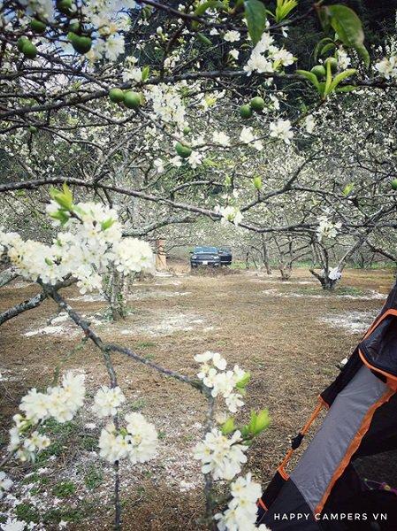 персиковые цветки Мок Чау