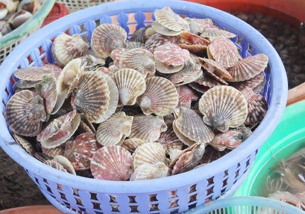 Scallops only 120,000 VND per kg