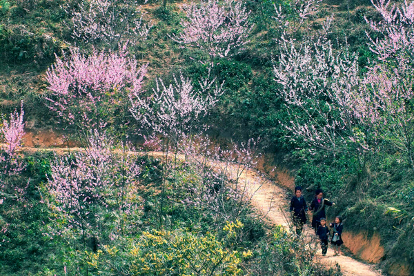 A glorious spring is coming to Sa Pa. A beauty of vitality and color is filling the North West of Vietnam