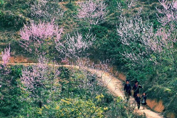 光荣的春天来了到萨霸. 活力和色彩的美是填补越南西北部