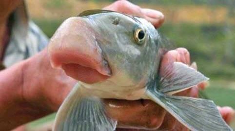 Anh vu fish or Tien Vua fish