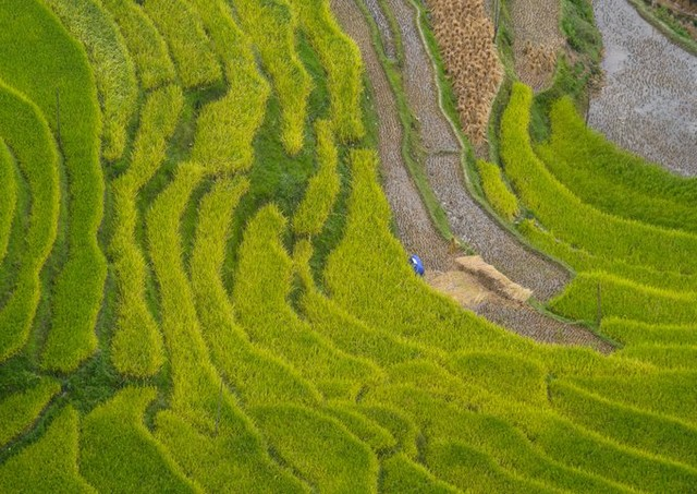 From late September to early October each year is the time when rice is ripe, the rice terrace turns from green to yellow color.