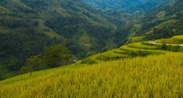 Hoang Su Phia has a topography divided by high mountains and steep slopes. Rice terraces are a form of agricultural cultivation adapted to the natural conditions of the people here.