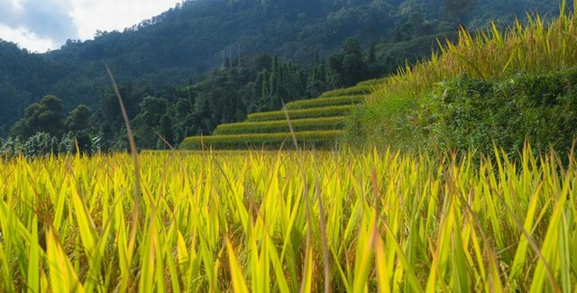 The rice terraces in Hoang Su Phi are also used for growing fish by farmers. According to Mr. Thanh, Hoang Su Phi District's staff, the kind of fish here does not leave the field even when the water overflows down the lower field and is a specialty of this land.