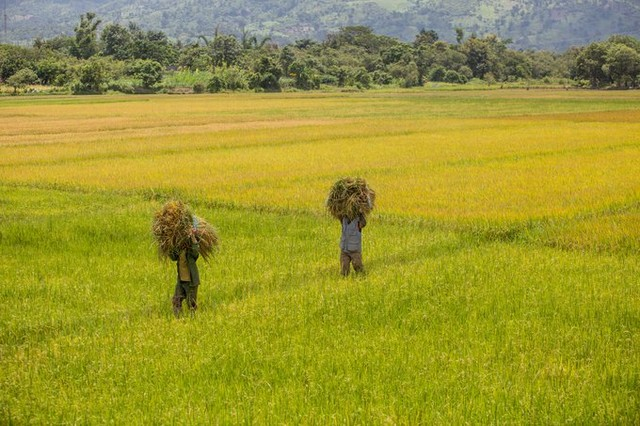 the rice fields are in the harvest season