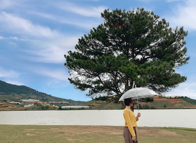 Lonely pine in Dalat city