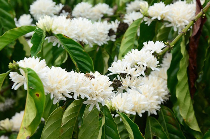the white coffee flowers