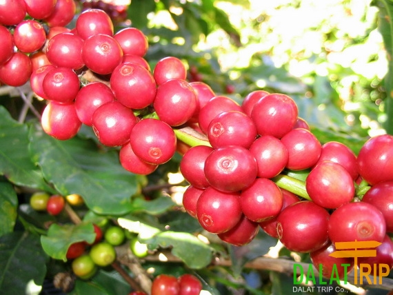 Mang Linh Coffee Plantation
