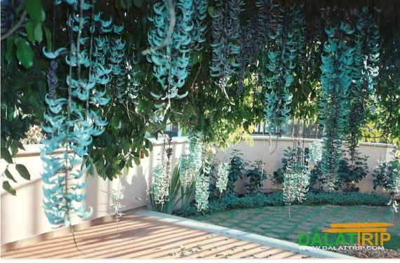 Jade Vine in Dalat