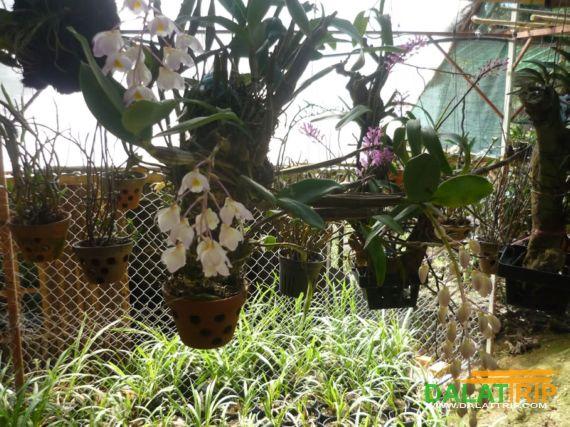Orchid in Dalat