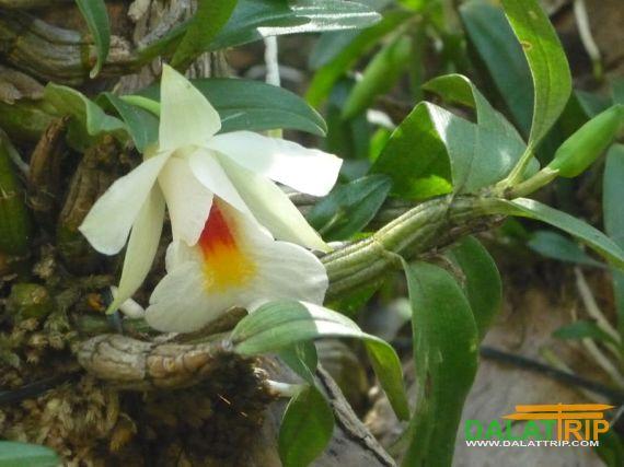 Orchid in Dalat Vietnam