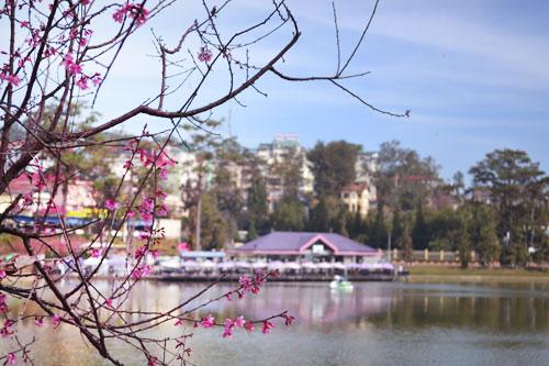 Dalat's Cherry Blossom