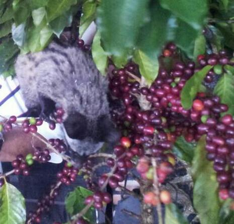 A Civet eating Coffee