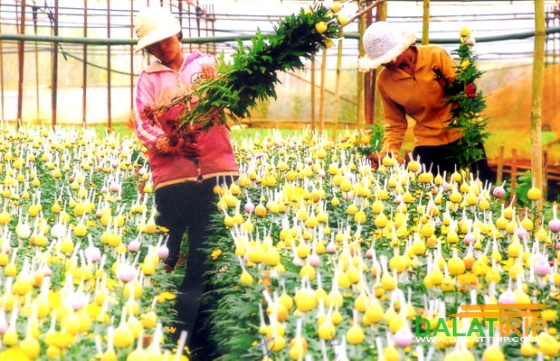 Thai Phien Flower Village in Dalat