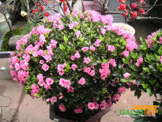 Azalea flowers of Dalat