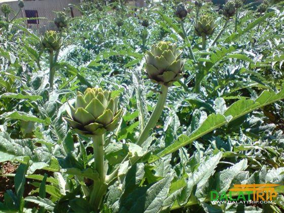 Dalat artichoke farm