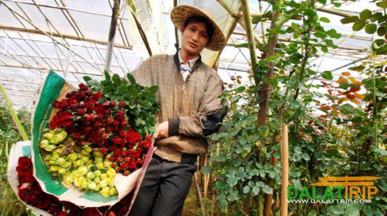 Dalat roses