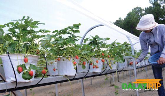 Dalat fraise