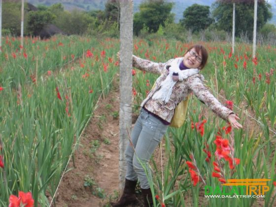Gladiolus flowers of Dalat
