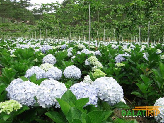 Hydrangea flowers of Dalat