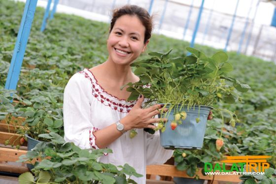 visiting the hanging strawberry garden in dalat vietnam. Black Bedroom Furniture Sets. Home Design Ideas