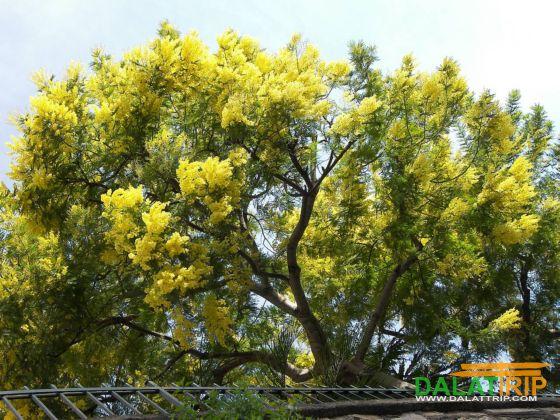 Mimosa flowers of Dalat