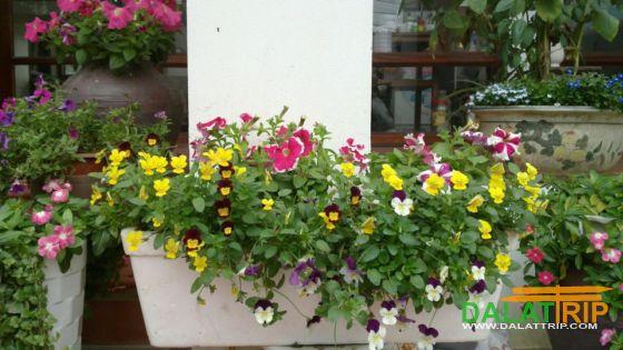 Pansy flowers of Dalat