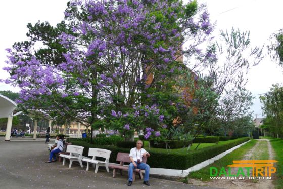 Purple flamboyant of Dalat