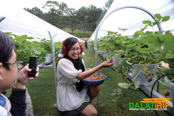 Visiting the hanging strawberry garden in Dalat Vietnam