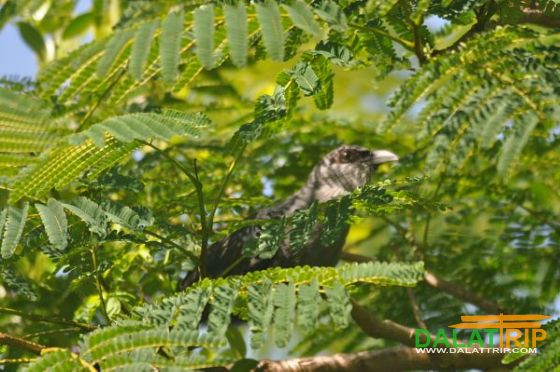 Black bellied Malkoha