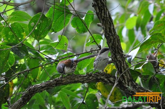 Grey-crowned Crocias