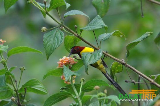 Mrs Gould's Sunbird