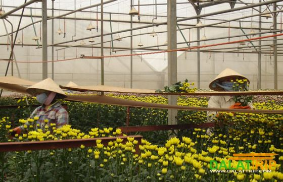 Ha Dong hamlet, the first flower village in Dalat