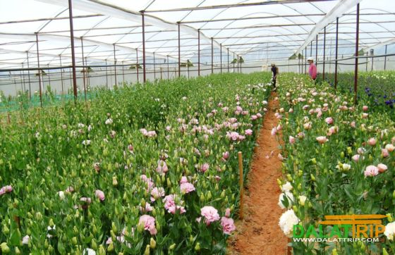 Thai Phien Flower village Dalat