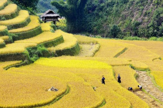The rice field of ethnic minority people