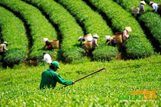 Tea culture tourism