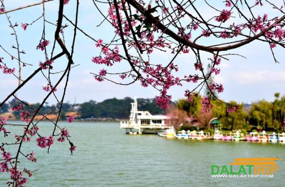 Xuan Huong lake with cherry blossom